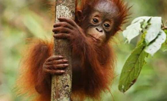 ludzie zabijaja co roku 750 orangutanow na borneo