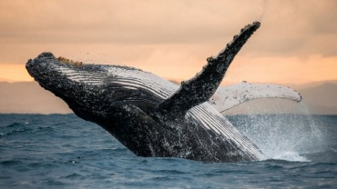 czy halas ze statkow stresuje wieloryby