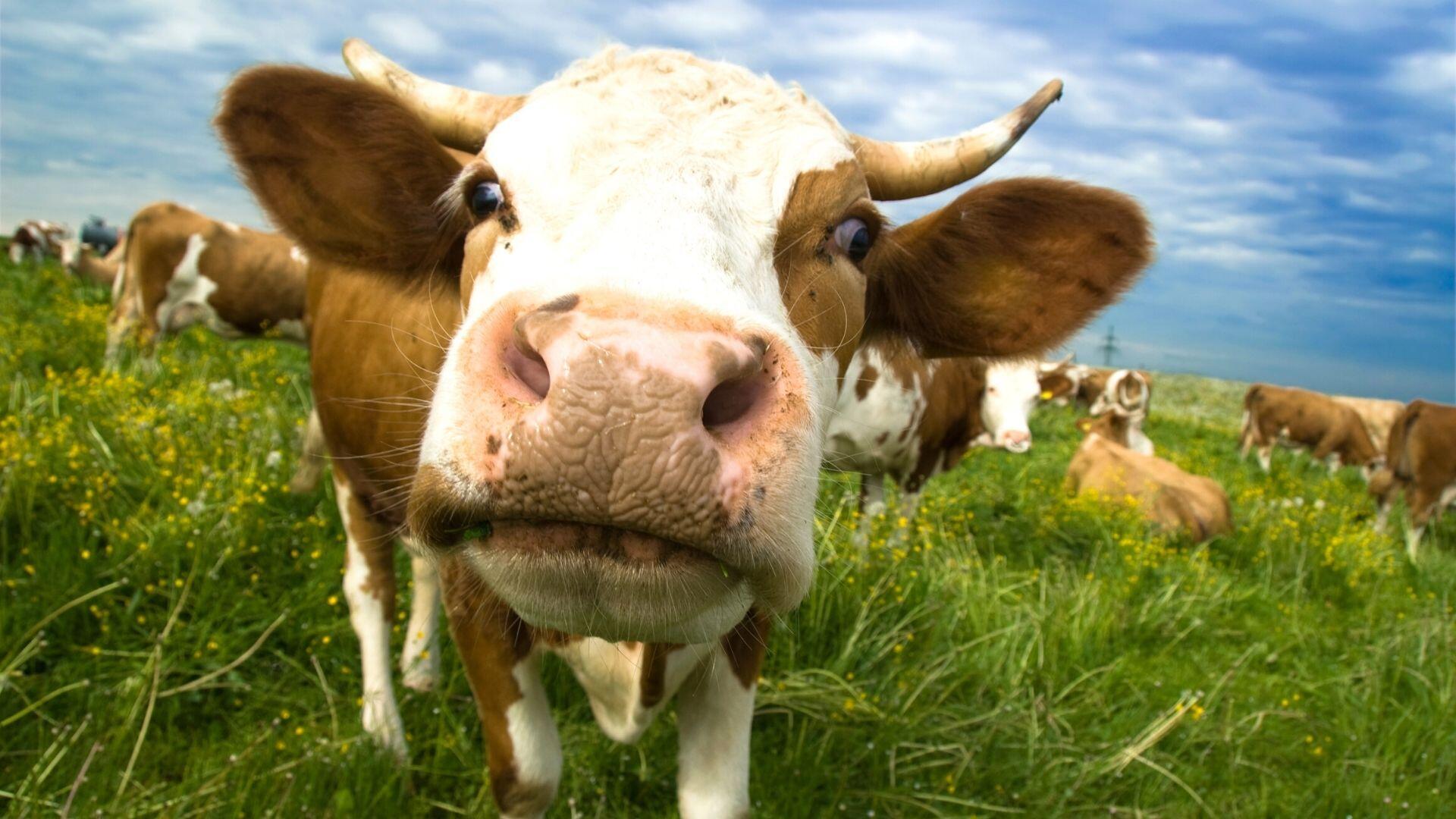 powszechnie uzywany plastik moze byc rozkladany przez enzymy odkryte w zoladkach krow